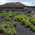 Вулканическое вино – реальный напиток или просто название превью
